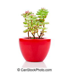 Adromischus houseplant in the red pot, on a white background...