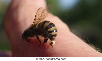 Bee stings a man - Bee sting trying to remove from the human...