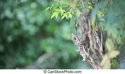 hummingbird gathers nesting material - female hummingbird...