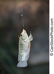Nile tilapia fish hanging on hook - Nile tilapia fish...