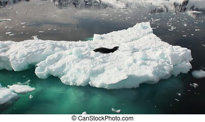 Leopard Seal sleeping on an Iceberg in Antarctica.