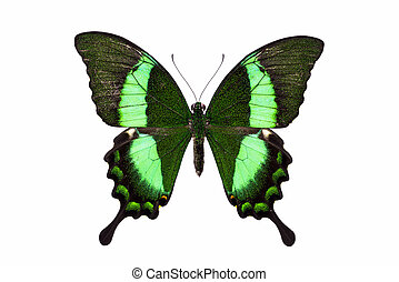 Beautiful butterfly with green wings - Papilio, palinuris...