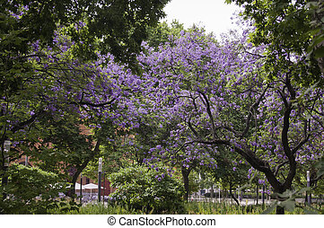 Lissabon Jacaranda - Beautiful Jacaranda on a sunny day in...