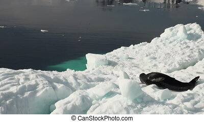 Leopard Seal sleeping on an Iceberg in Antarctica. - Crying...