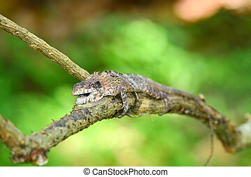 greater lizard sitting on the tree