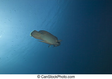 napoleon wrasse and ocean - napoleon wrasse and oceon