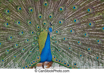 blue peafowl - this is eye peafowl or peacock
