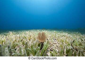 tube anemone and sea grass - tube anemone and seagrass