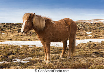 Icelandic pony over dry grass, Iceland
