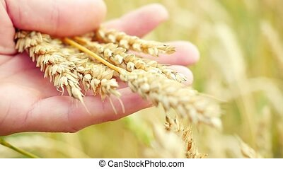 Wheat ears in farmer hands close up on field in slowmotion...