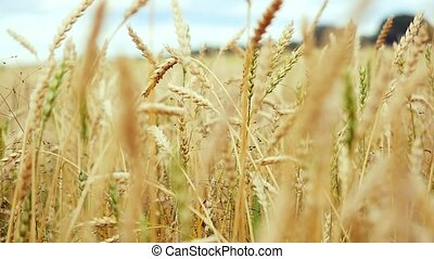 Golden wheat field and sunny day in slowmotion on windy day. 1920x1080