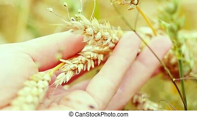 Wheat ears in farmer hands close up on field in slowmotion....