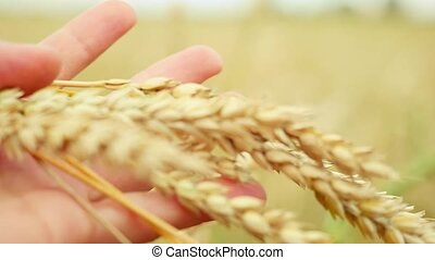 Wheat ears in farmer hands close up on field in slowmotion. 1920x1080
