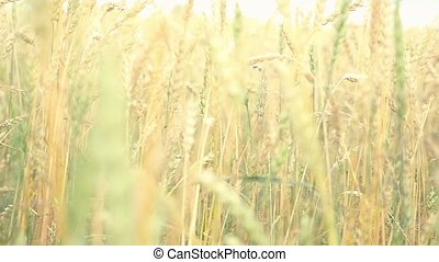Golden wheat field and sunny day in slowmotion on windy day...
