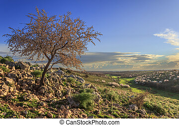 Almond tree in bloom.Apulia,Italy.