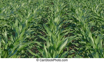 Corn plant in field zoom out video - Agriculture, corn plant...