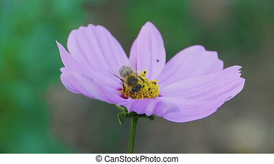 Bee on cosmos flower - Bees store honey dew from cosmos...