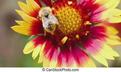 Bumblebee on a flower gailardia - Yellow and Red Gailardia...