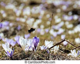 A hard-working bumblebee which is looking for nectar.