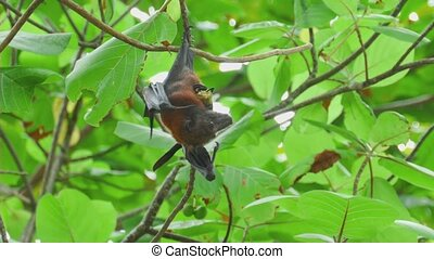 Flying fox hangs on a tree branch and eat fruit - Lyle's...