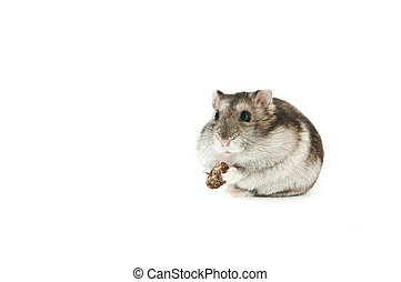 Hamster Isolated - hamster isolated over white