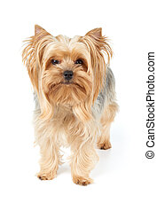 Domestic dog - Domestic Yorkshire Terrier with golden hair...