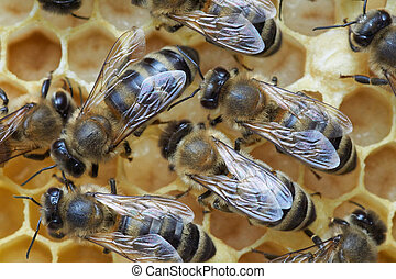 Honey bees over larva