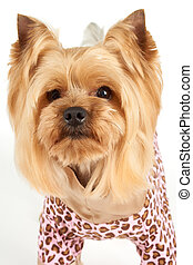 Portrait of the dog with elegant haircut