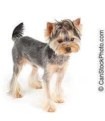 Yorkie stands on white - Yorkshire Terrier with short hair...