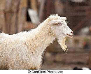Cute goat - Portrait of a cute white goat outdoor in the...