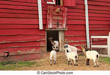 goats in corral - Creative design of goats in corral