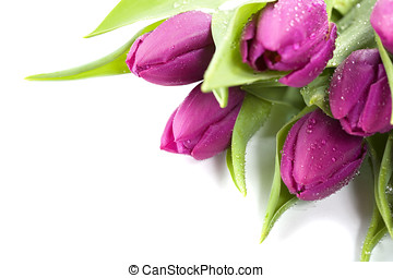 fresh tulips - Pink tulips with water droplets on white...
