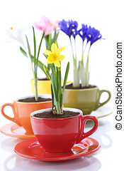 growing spring flowers in a cup spring concept