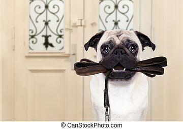 dog leash walk - pug dog waiting a the door at home with...