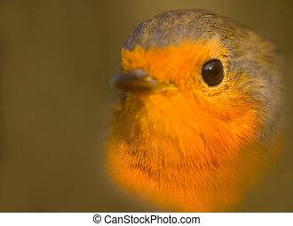 Closeup portrait of Robin (Erithacus rubecula). Young bird -...