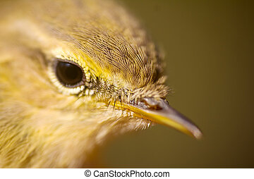 Closeup portrait of willow warbler (Phylloscopus trochilus)....