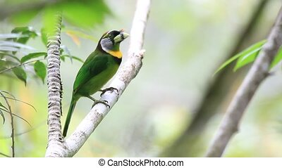 Fire-tufted Barbet (Psilopogon pyrolophus) in Sumatra,...