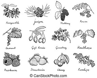 berries set - berries. hand drawing set of vector sketches