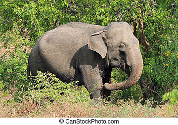 Elephant Feeding - Lankesian Elephant (Elephas Maximus...