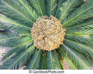 Palma, árbol, sagú