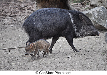 collared, Mamífero,  Peccary,  animal