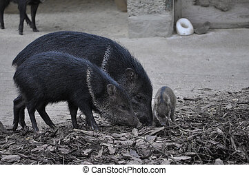 collared, Peccary, Mamífero, animal,