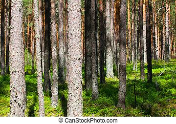 pino, bosque, -, lugar, para, sano, paseos,