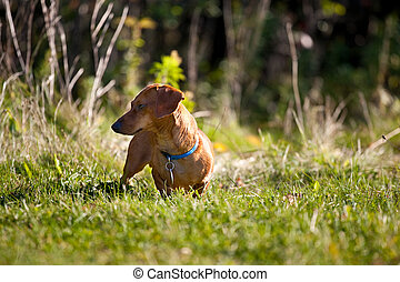 Miniature Dachshund in the grass - A miniature Dachshund...
