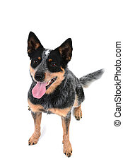 Blue Heeler Sitting - Australian cattle dog isolated on...