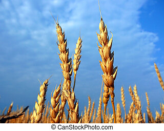 stems of the wheat