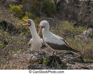 Pair of Blue Footed Boobies