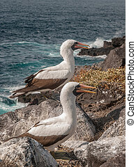 Two Blue Footed Boobies with orange beaks standing on a rock...