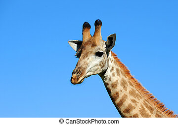 Giraffe against a blue sky in Hluhluwe-Umfolozi Game...