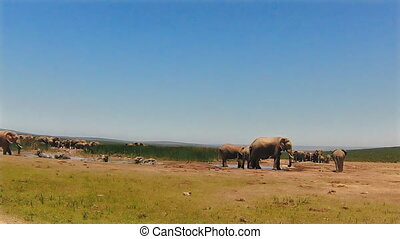 Elephants in puddle - Group of elephants bathing and playing...
